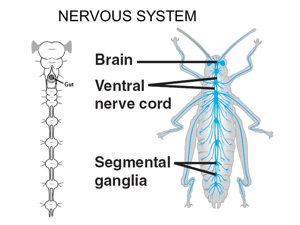 Image result for arthropods nervous system
