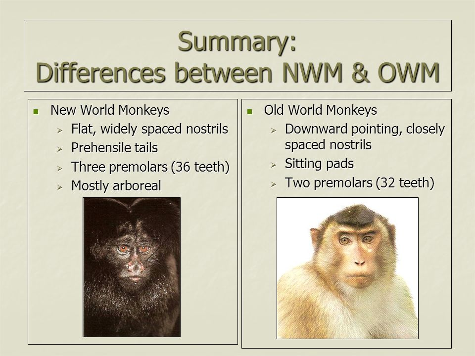 Natural History Collections: NEW WORLD MONKEYS