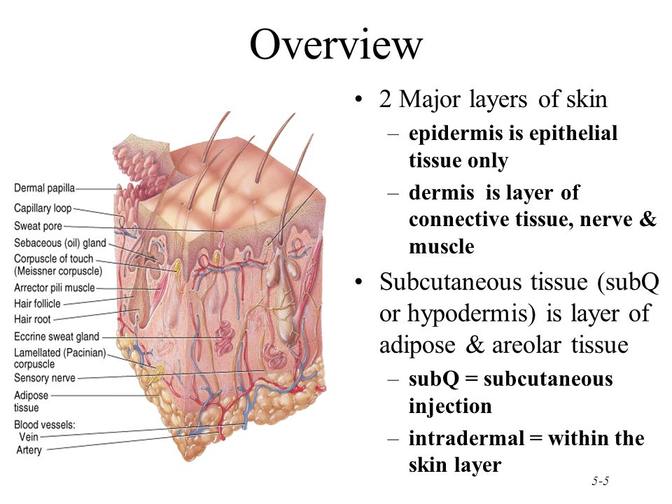 layers of connective tissue A mnemonic for the layers of the scalp is: scalp this is particularly helpful when considering the location of a scalp haematoma mnemonic s: skin c: connective tissue a: (galea) aponeurosis l: loose connective tissue p: periosteum.