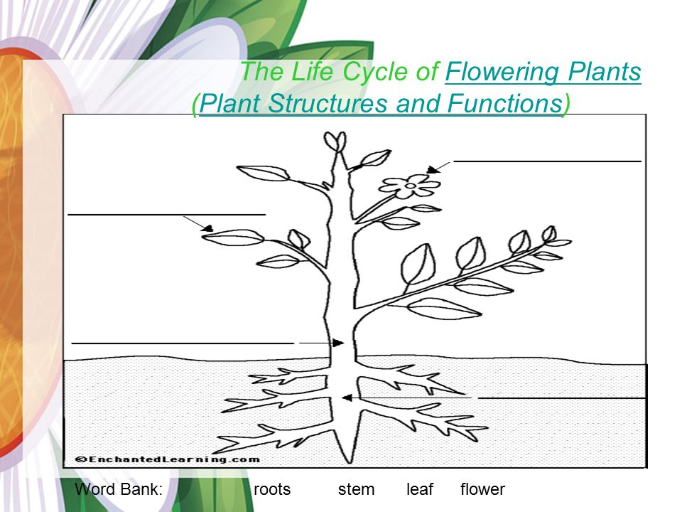 Plants Parts Word Bank: roots stem leafflower The Life Cycle of Flowering Plants (Plant Structures and Functions)Flowering PlantsPlant Structures and Functions