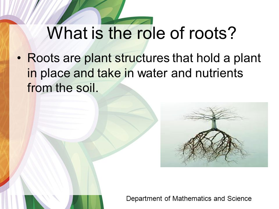 What is the role of roots.