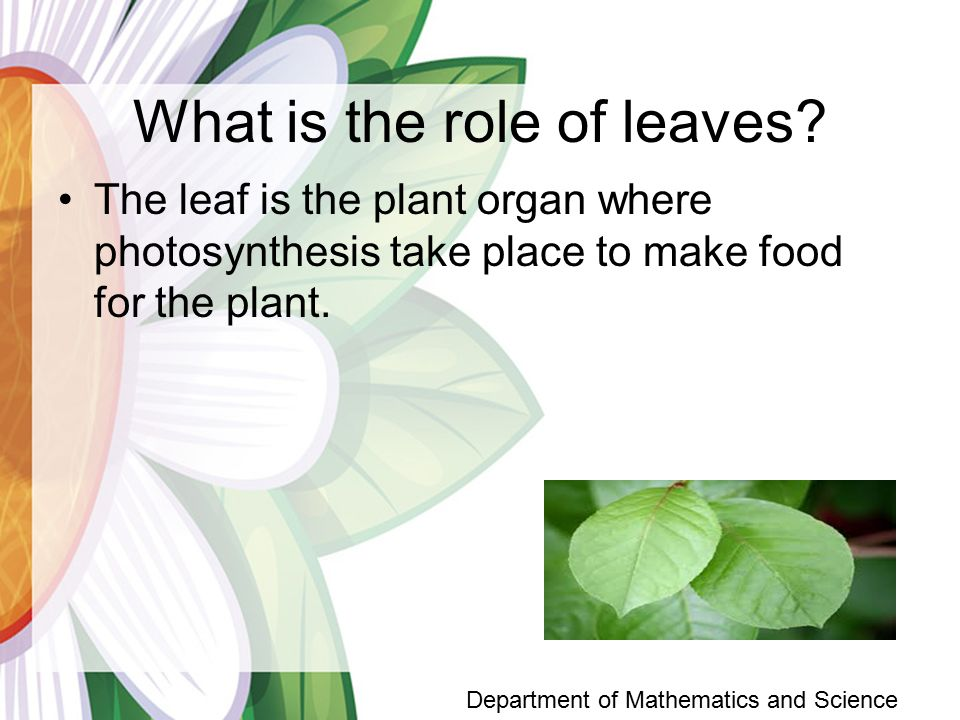 What is the role of leaves.