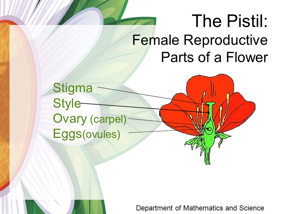 The Pistil: Female Reproductive Parts of a Flower Stigma Style Ovary (carpel) Eggs (ovules) Department of Mathematics and Science