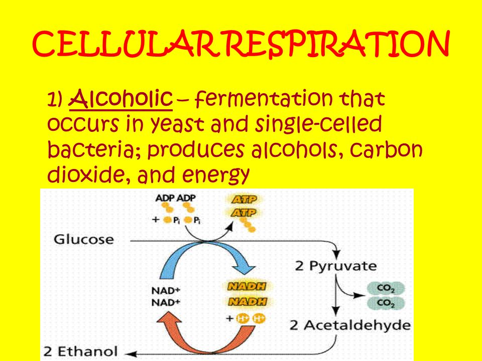 CELLULAR RESPIRATION 1) Alcoholic – fermentation that occurs in yeast and single-celled bacteria; produces alcohols, carbon dioxide, and energy