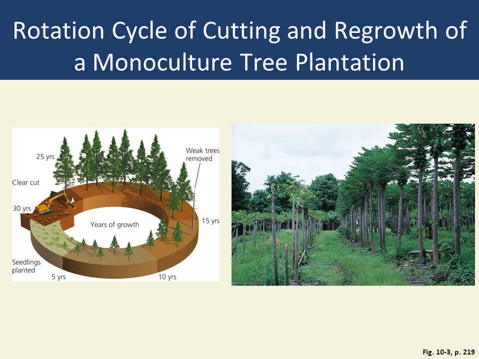 Rotation Cycle of Cutting and Regrowth of a Monoculture Tree Plantation Fig. 10-3, p. 219