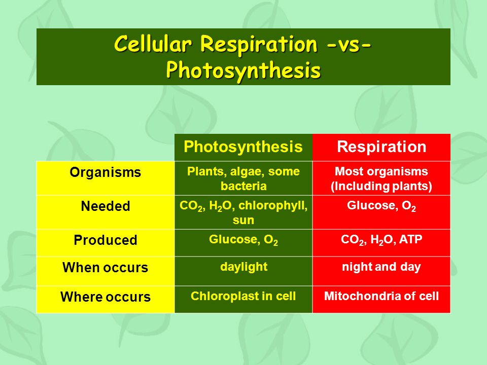 Cellular Respiration -vs- Photosynthesis PhotosynthesisRespiration Organisms Plants, algae, some bacteria Most organisms (Including plants) Needed CO 2, H 2 O, chlorophyll, sun Glucose, O 2 Produced Glucose, O 2 CO 2, H 2 O, ATP When occurs daylightnight and day Where occurs Chloroplast in cellMitochondria of cell