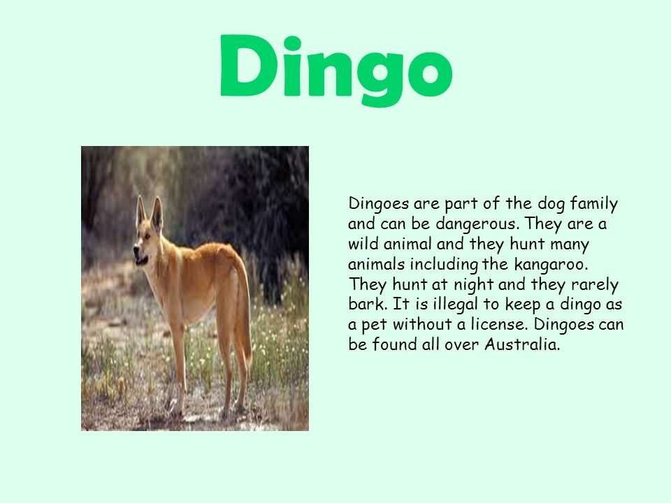 Dingo Dingoes are part of the dog family and can be dangerous.