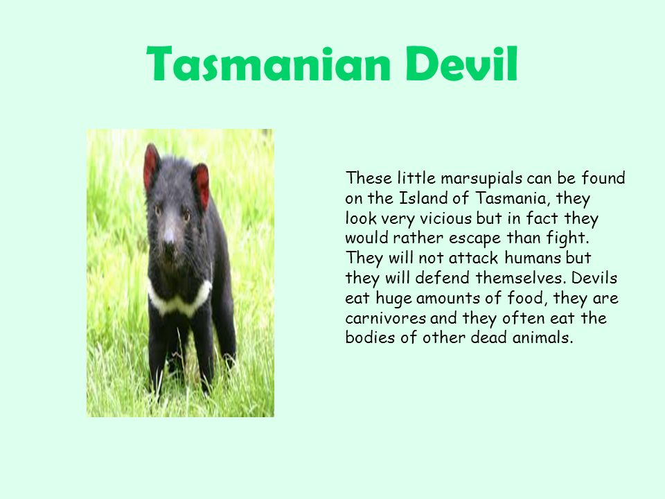 Tasmanian Devil These little marsupials can be found on the Island of Tasmania, they look very vicious but in fact they would rather escape than fight.