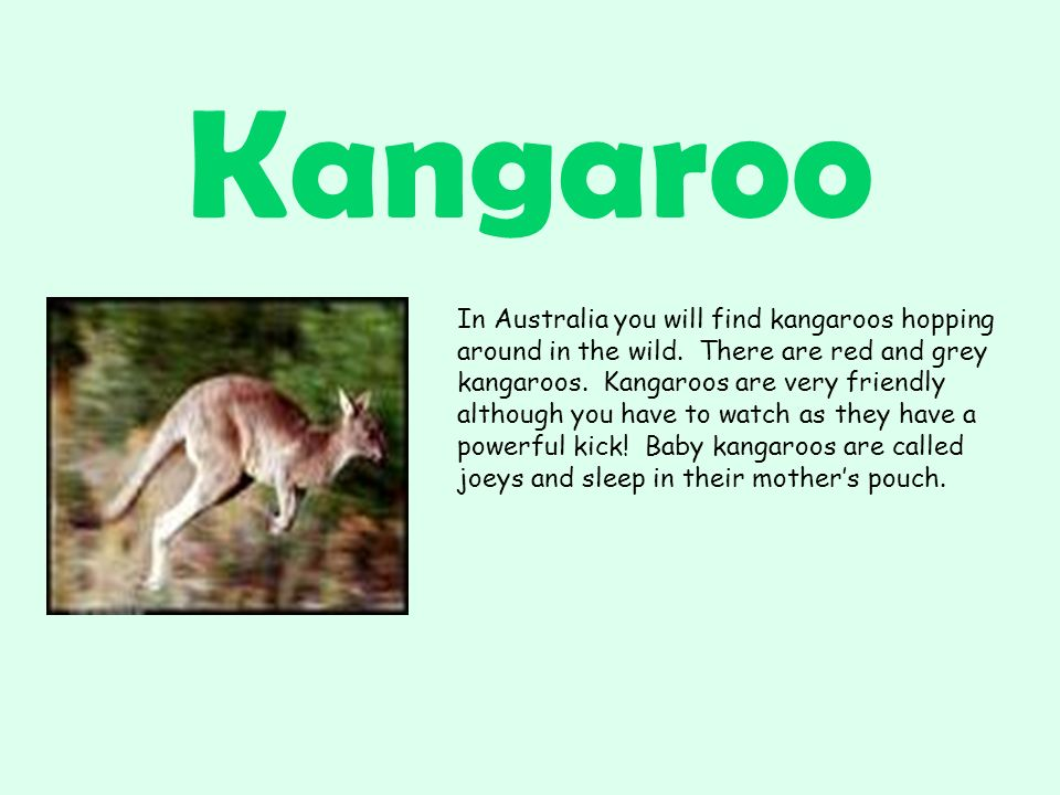 Kangaroo In Australia you will find kangaroos hopping around in the wild.