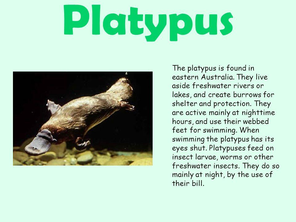 Platypus The platypus is found in eastern Australia.
