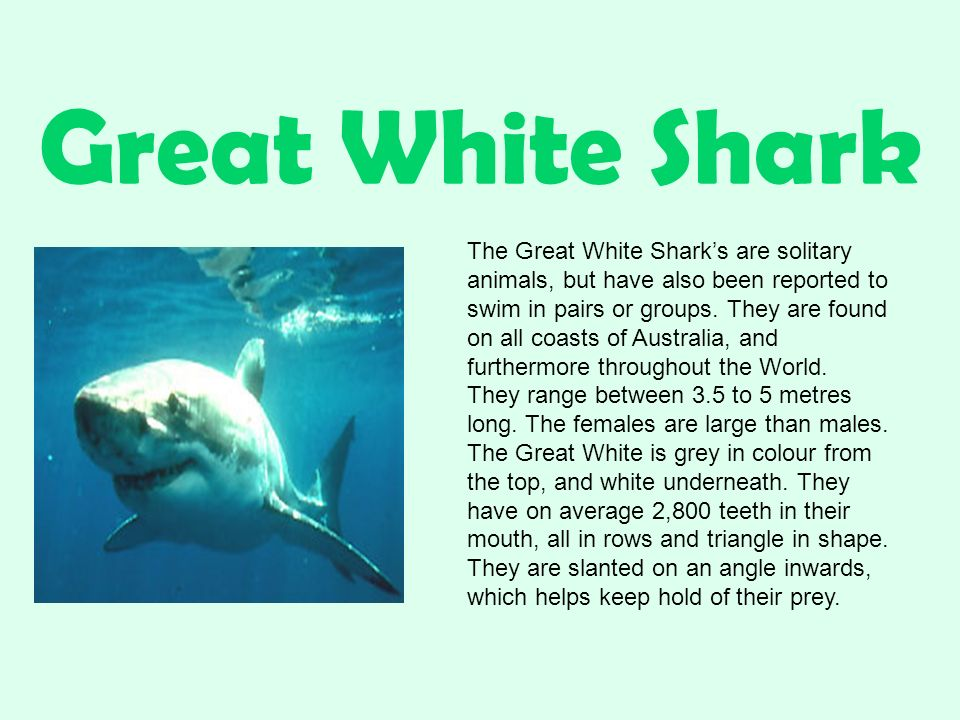 Great White Shark The Great White Shark's are solitary animals, but have also been reported to swim in pairs or groups.