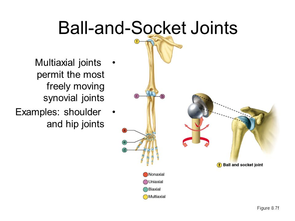 Bones And Cartilages Of The Human Body Figure Ppt Download