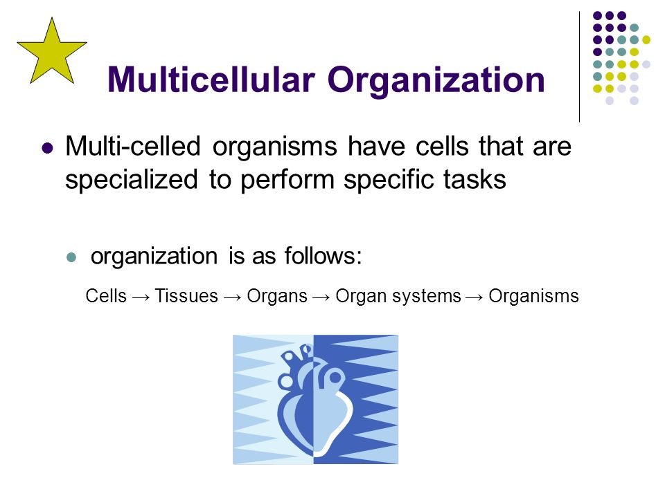 Multicellular Organization Multi-celled organisms have cells that are specialized to perform specific tasks organization is as follows: Cells → Tissues → Organs → Organ systems → Organisms