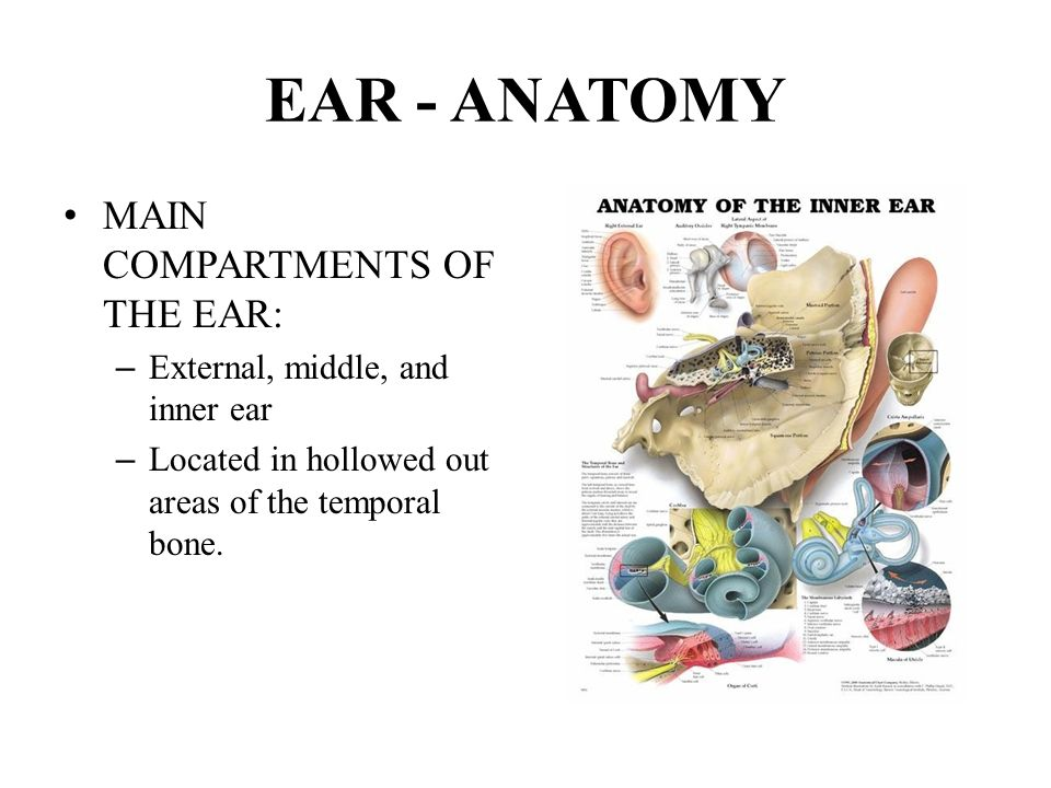 "CHAPTER 15 Special Senses EAR ""Oto - Auris"". EAR HEARING (""Audi ..."