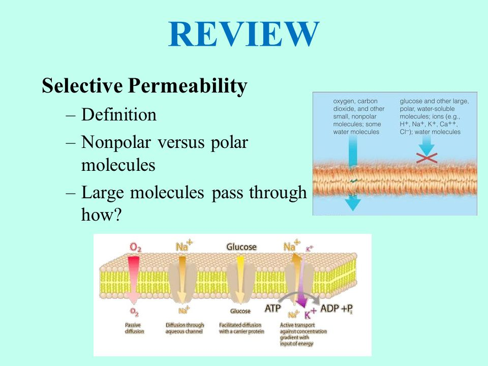 REVIEW Selective Permeability –Definition –Nonpolar versus polar molecules –Large molecules pass through how