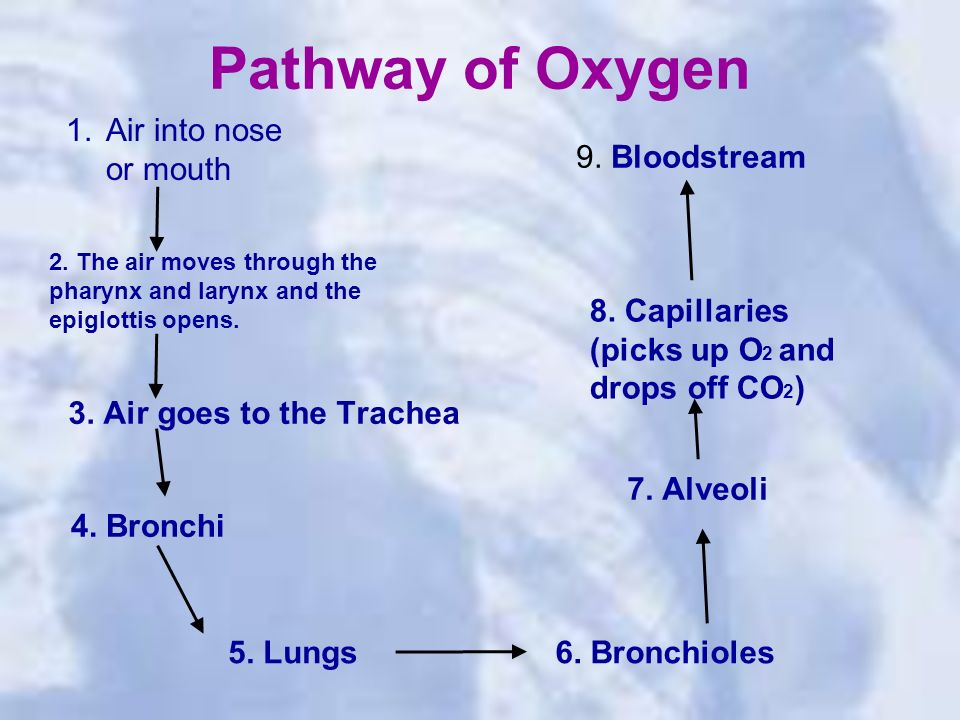 Pathway of Oxygen 1.Air into nose or mouth 3. Air goes to the Trachea 4.