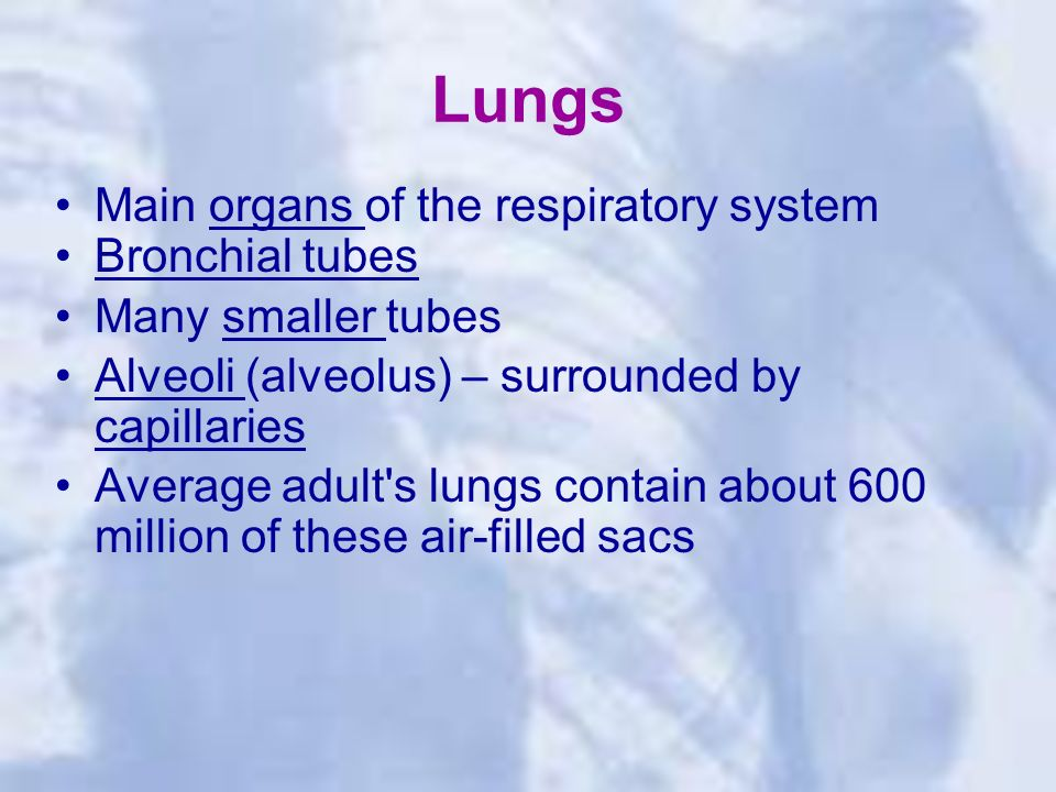 Lungs Main organs of the respiratory system Bronchial tubes Many smaller tubes Alveoli (alveolus) – surrounded by capillaries Average adult s lungs contain about 600 million of these air-filled sacs