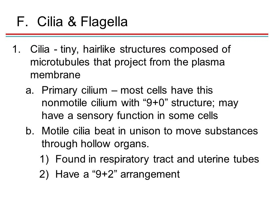 F.Cilia & Flagella 1.Cilia - tiny, hairlike structures composed of microtubules that project from the plasma membrane a.Primary cilium – most cells have this nonmotile cilium with 9+0 structure; may have a sensory function in some cells b.Motile cilia beat in unison to move substances through hollow organs.
