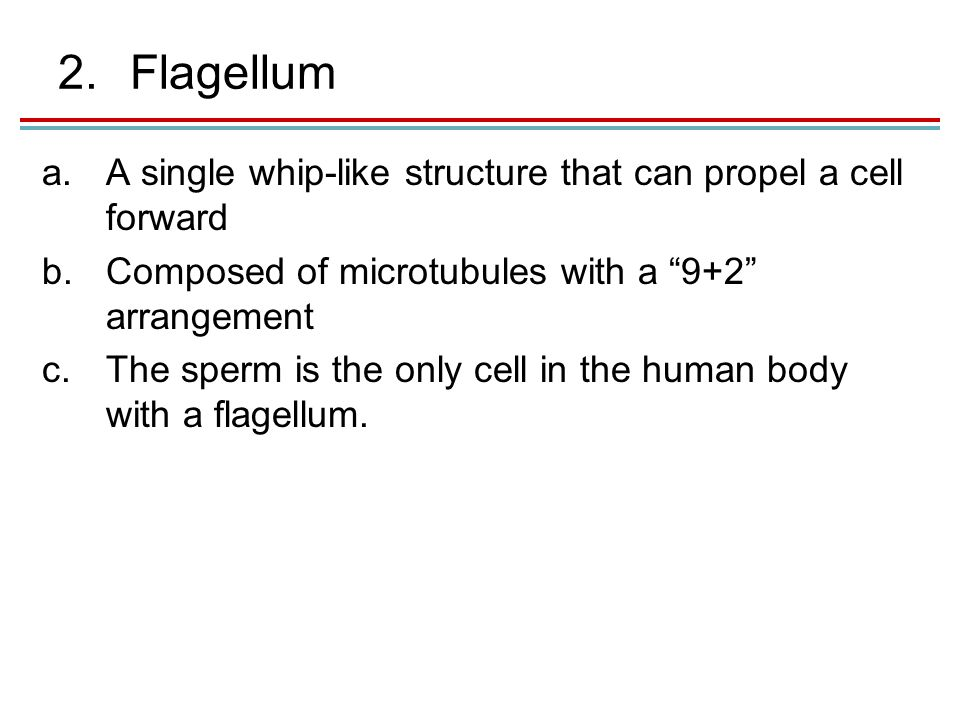 2.Flagellum a.A single whip-like structure that can propel a cell forward b.Composed of microtubules with a 9+2 arrangement c.The sperm is the only cell in the human body with a flagellum.