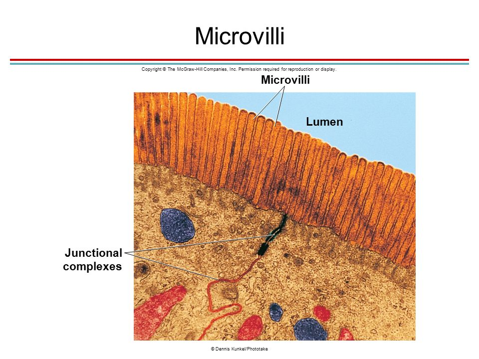 Microvilli Junctional complexes Microvilli Lumen Copyright © The McGraw-Hill Companies, Inc.