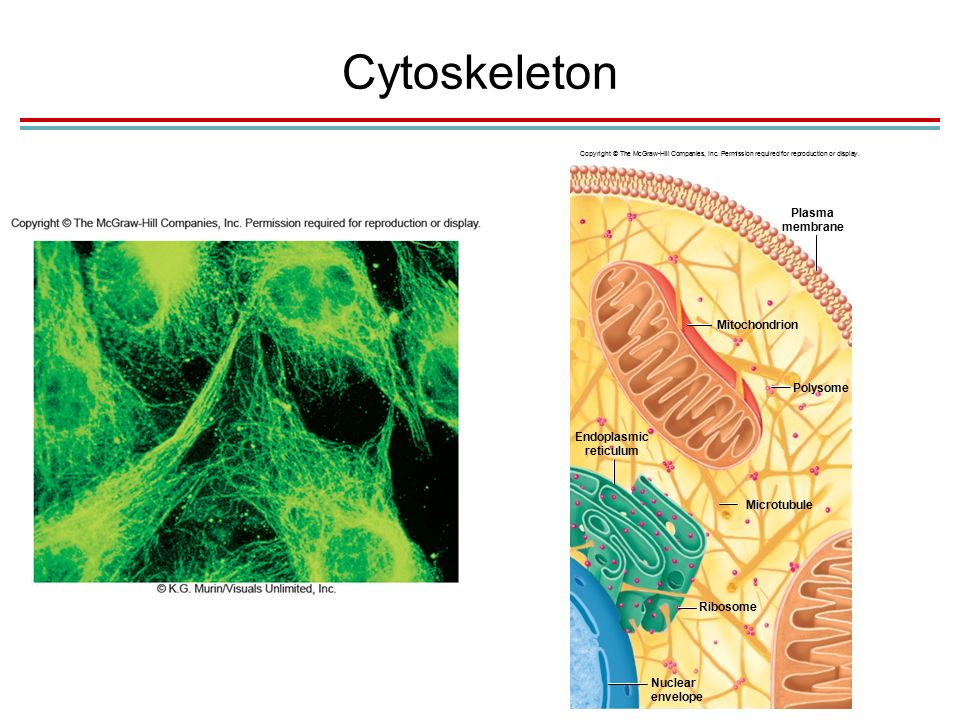 Cytoskeleton Plasma membrane Polysome Mitochondrion Endoplasmic reticulum Microtubule Ribosome Nuclear envelope Copyright © The McGraw-Hill Companies, Inc.