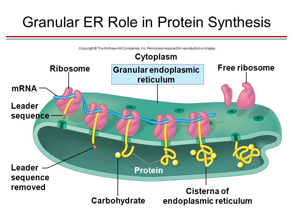 Granular ER Role in Protein Synthesis Copyright © The McGraw-Hill Companies, Inc.