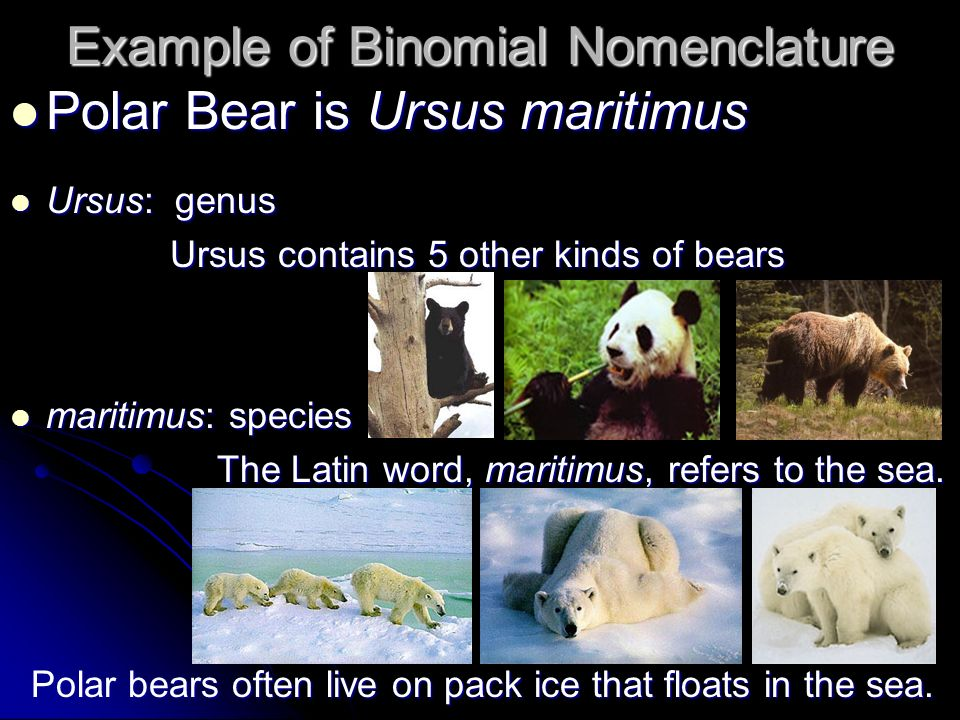 Example of Binomial Nomenclature Polar Bear is Ursus maritimus Polar Bear is Ursus maritimus Ursus: genus Ursus: genus Ursus contains 5 other kinds of bears Ursus contains 5 other kinds of bears maritimus: species maritimus: species The Latin word, maritimus, refers to the sea.