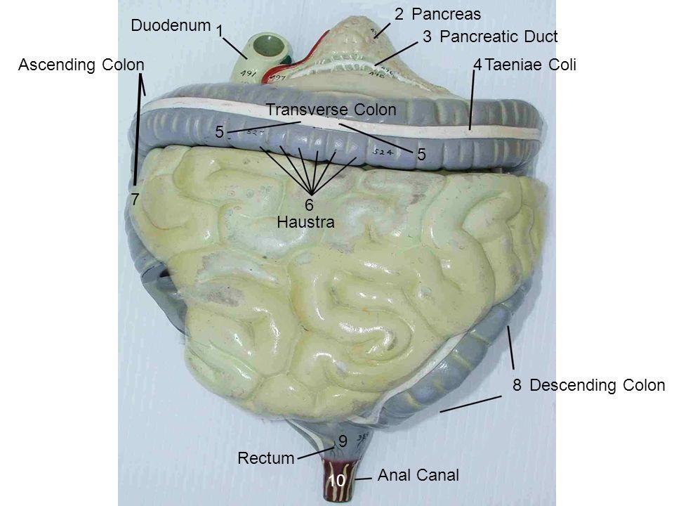Duodenum Pancreas Pancreatic Duct Taeniae Coli Transverse Colon Haustra  Ascending Colon Descending Colon Rectum Anal Canal With Haustr Grn