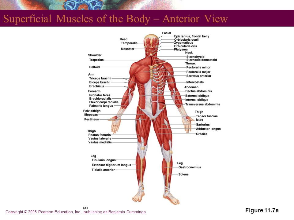 Erfreut Menschliche Anatomie Und Physiologie Powerpoint Pearson ...