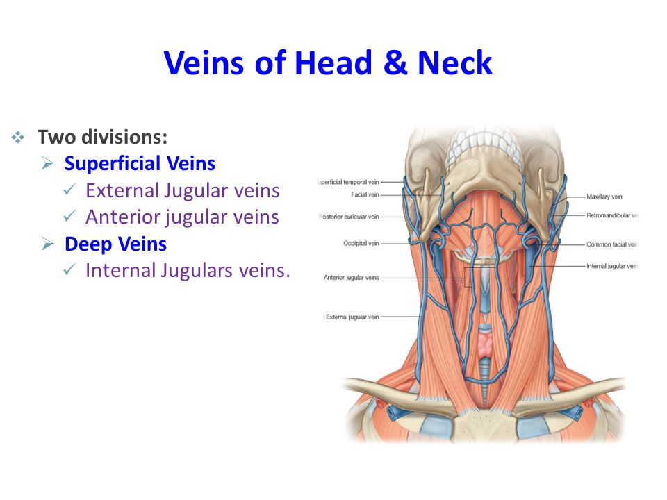 Veins of Head & Neck  Two divisions:  Superficial Veins External Jugular veins Anterior jugular veins  Deep Veins Internal Jugulars veins.