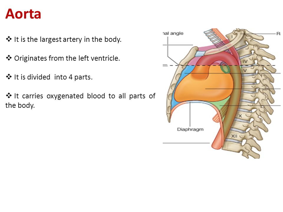  It is the largest artery in the body.  Originates from the left ventricle.