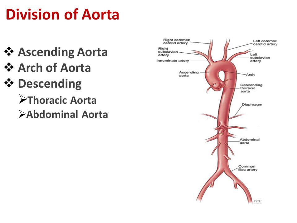  Ascending Aorta  Arch of Aorta  Descending  Thoracic Aorta  Abdominal Aorta Division of Aorta