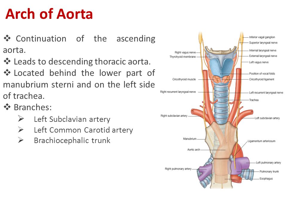  Continuation of the ascending aorta.  Leads to descending thoracic aorta.