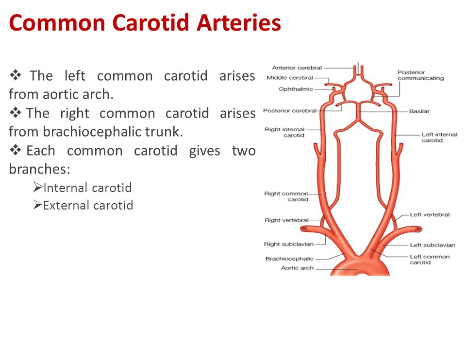  The left common carotid arises from aortic arch.