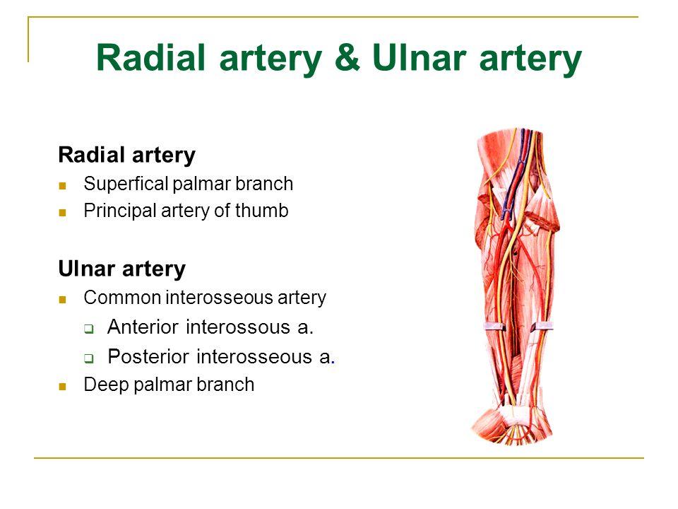 Radial artery & Ulnar artery Radial artery Superfical palmar branch Principal artery of thumb Ulnar artery Common interosseous artery  Anterior interossous a.