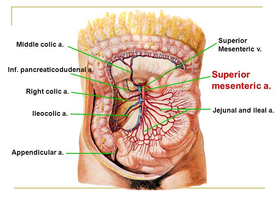 Superior mesenteric a. Inf. pancreaticodudenal a.