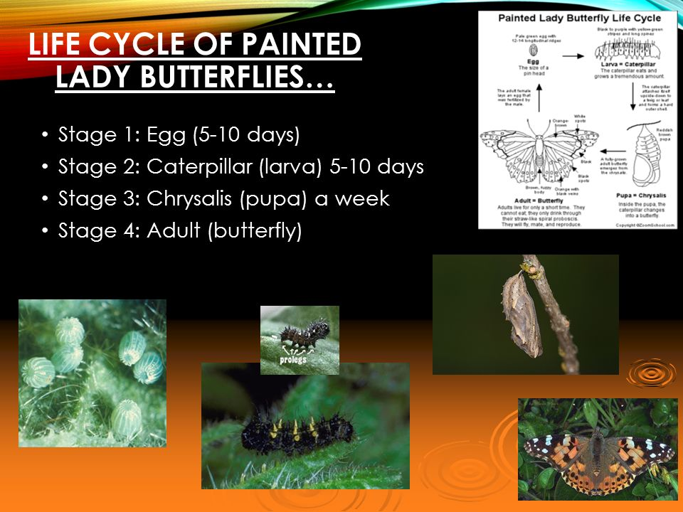Painted Lady Butterfly Lab  ppt video online download
