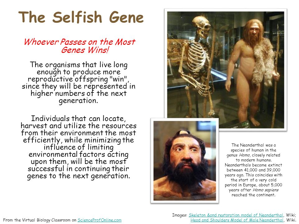 The Selfish Gene  From the Virtual Biology Classroom on ScienceProfOnline.comScienceProfOnline.com Whoever Passes on the Most Genes Wins.