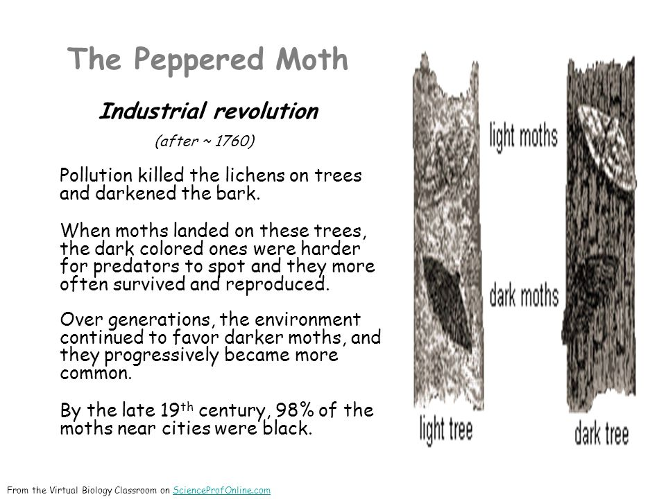 The Peppered Moth Industrial revolution (after ~ 1760) Pollution killed the lichens on trees and darkened the bark.