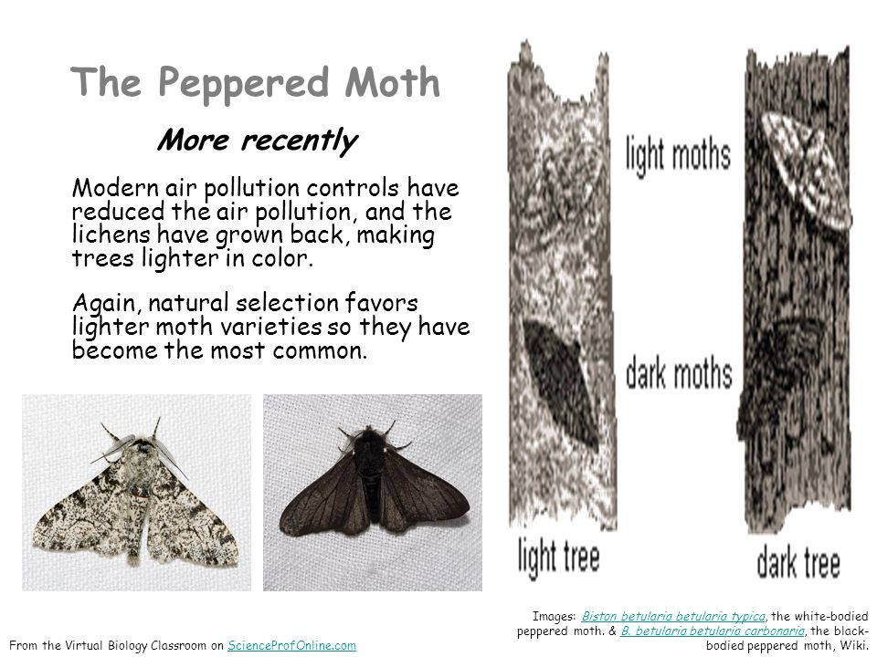 The Peppered Moth More recently Modern air pollution controls have reduced the air pollution, and the lichens have grown back, making trees lighter in color.