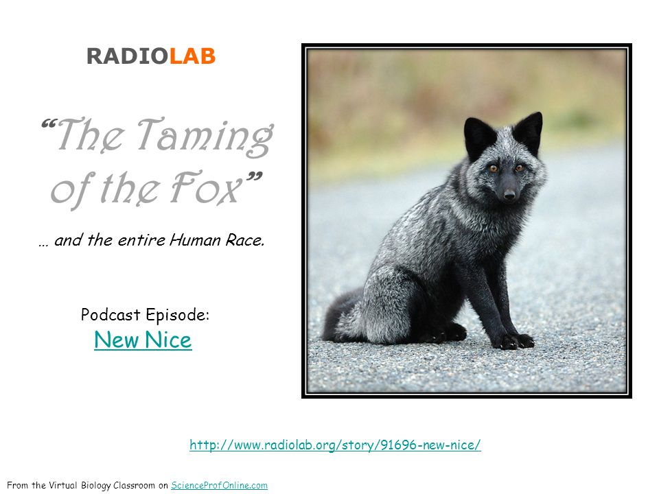 RADIOLAB The Taming of the Fox … and the entire Human Race.