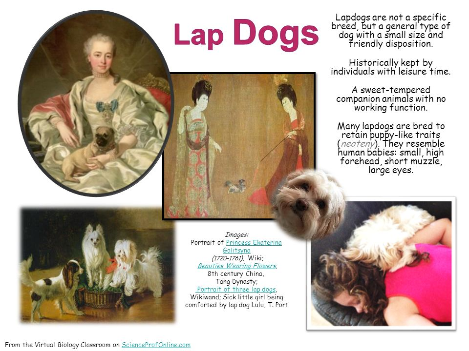 Lapdogs are not a specific breed, but a general type of dog with a small size and friendly disposition.