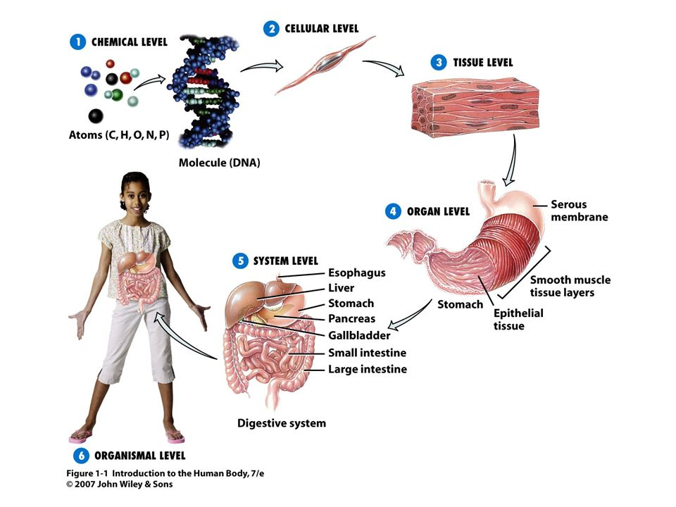 Magnífico Anatomy And Physiology Chapter 1 3 Test Imagen - Anatomía ...