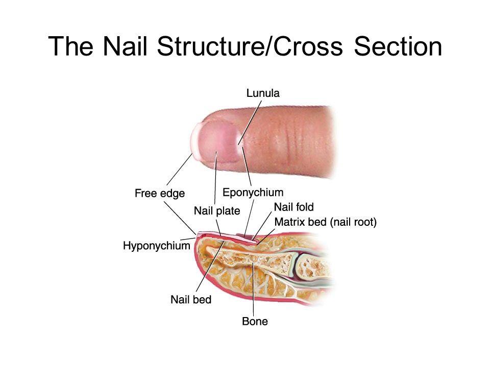 Attractive Nail Bed Anatomy Images - Nail Art Ideas - morihati.com