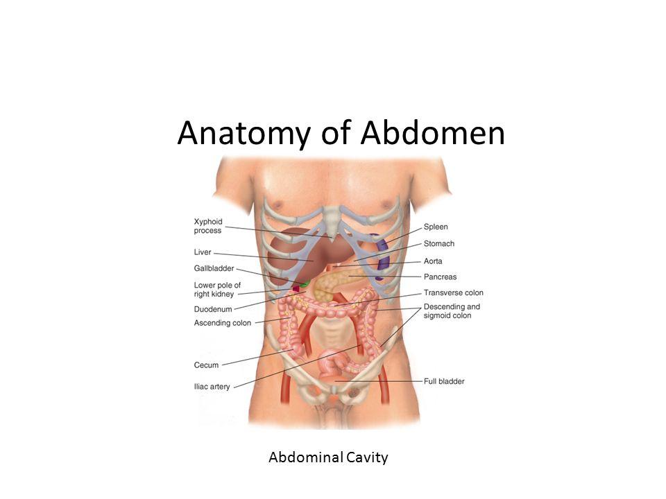 Chapter 10 the abdomen anatomy of abdomen anatomy and physiology 4 anatomy of abdomen abdominal cavity ccuart Gallery