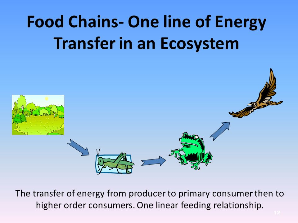 12 The transfer of energy from producer to primary consumer then to higher order consumers.