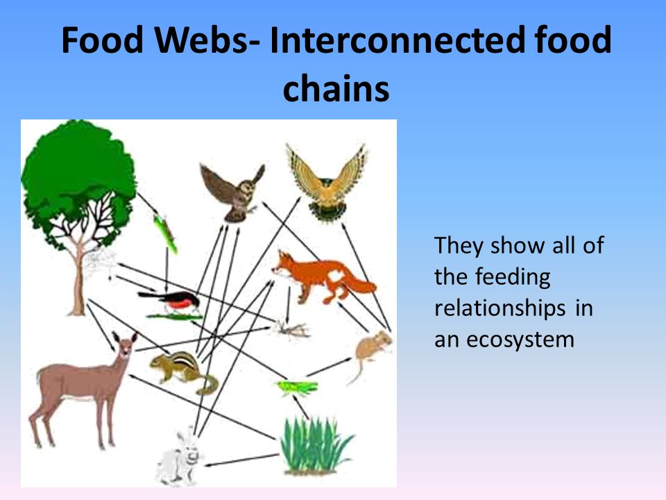 Food Webs- Interconnected food chains They show all of the feeding relationships in an ecosystem