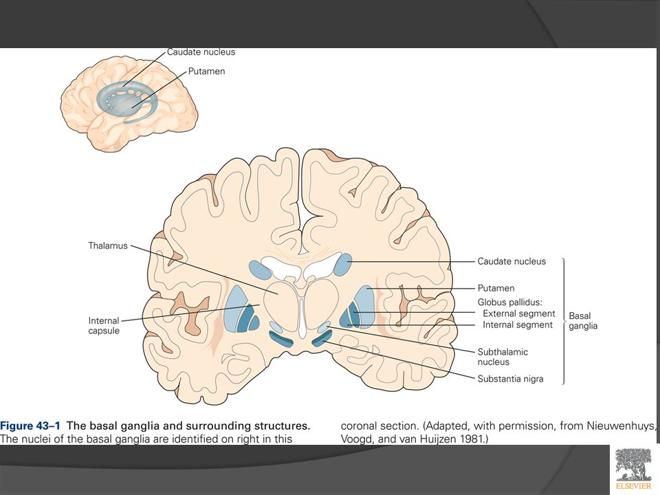 Basal Ganglia Principles of neural sciences 5 th ed. The human brain ...