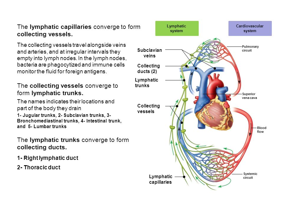 lab 3 the cardiovascular system What are the function of the cardiovascular system 1 generate blood pressure 2 transport blood 3 exchange of nutrients and wastes at the capillaries.