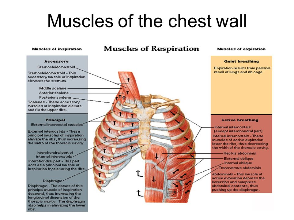 Chest wall anatomy